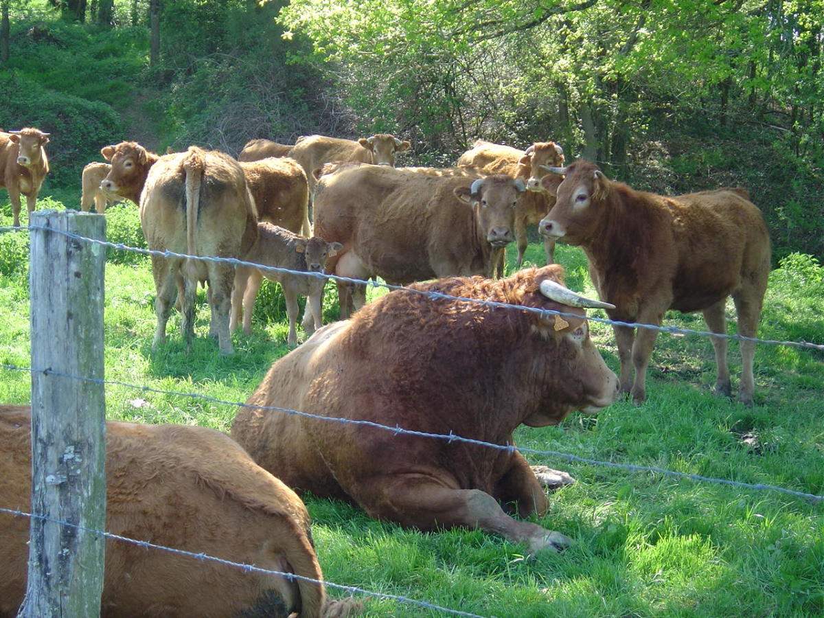 The Limousin bulls are kept in the field with cows and calves