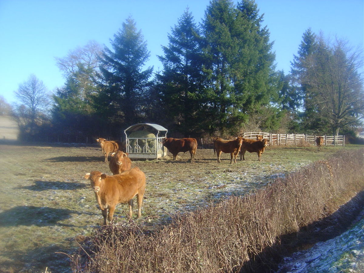 Cows are kept outside all year round