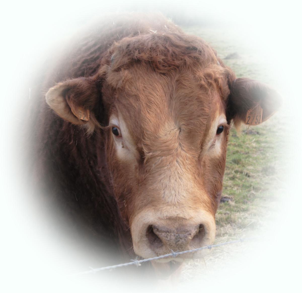 Limousin Bull Fridge Magnets