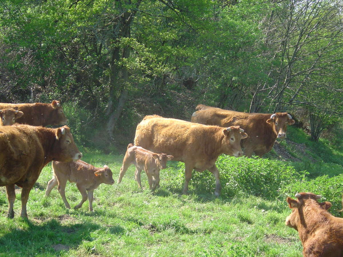 Enjoying Limousin sunshine and shelter from trees. The cows really seem to enjoy  being in the woods