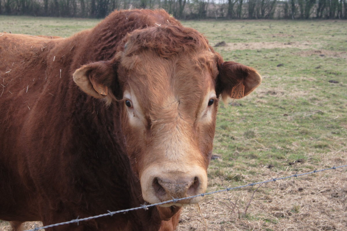 Limousin cattle: Limousine bulls are BIG