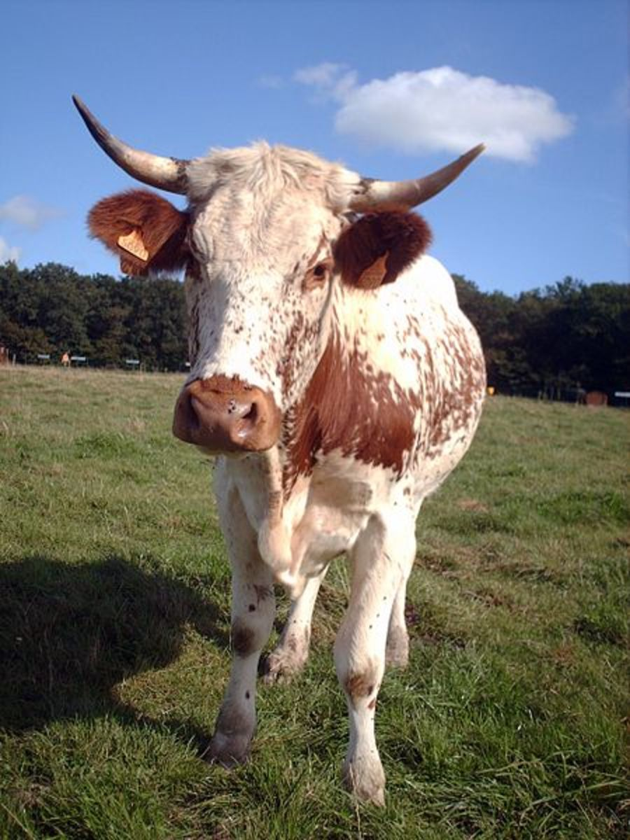 La Ferrandaise Cattle Breed of the Auvergne France