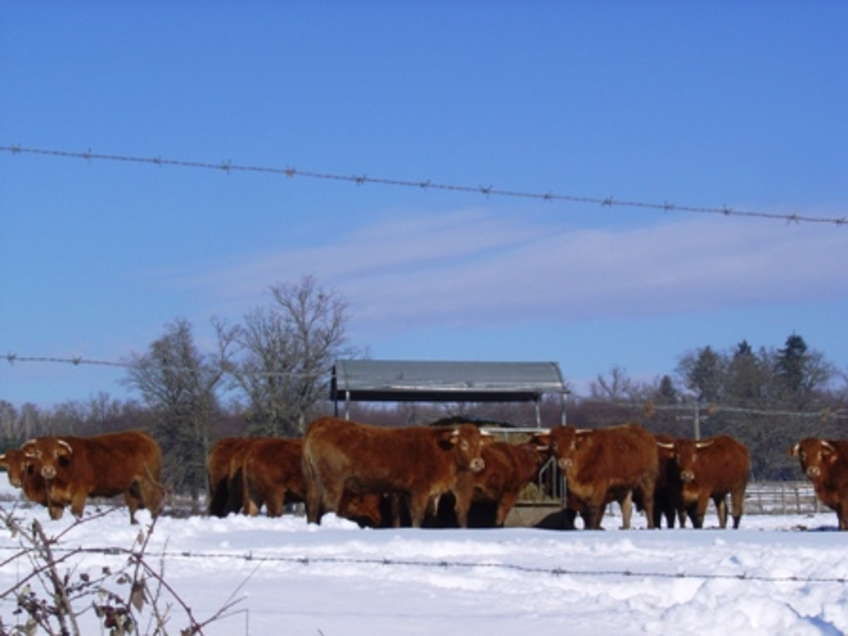 Limousin cattle in the snow near Videix