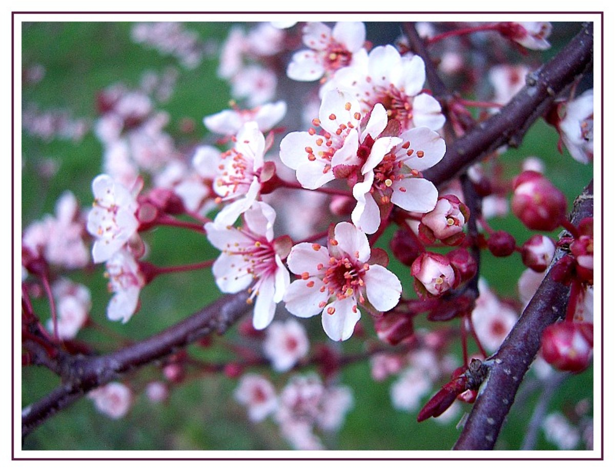 Chinese Spring-flowering plum - photo from treklens.com