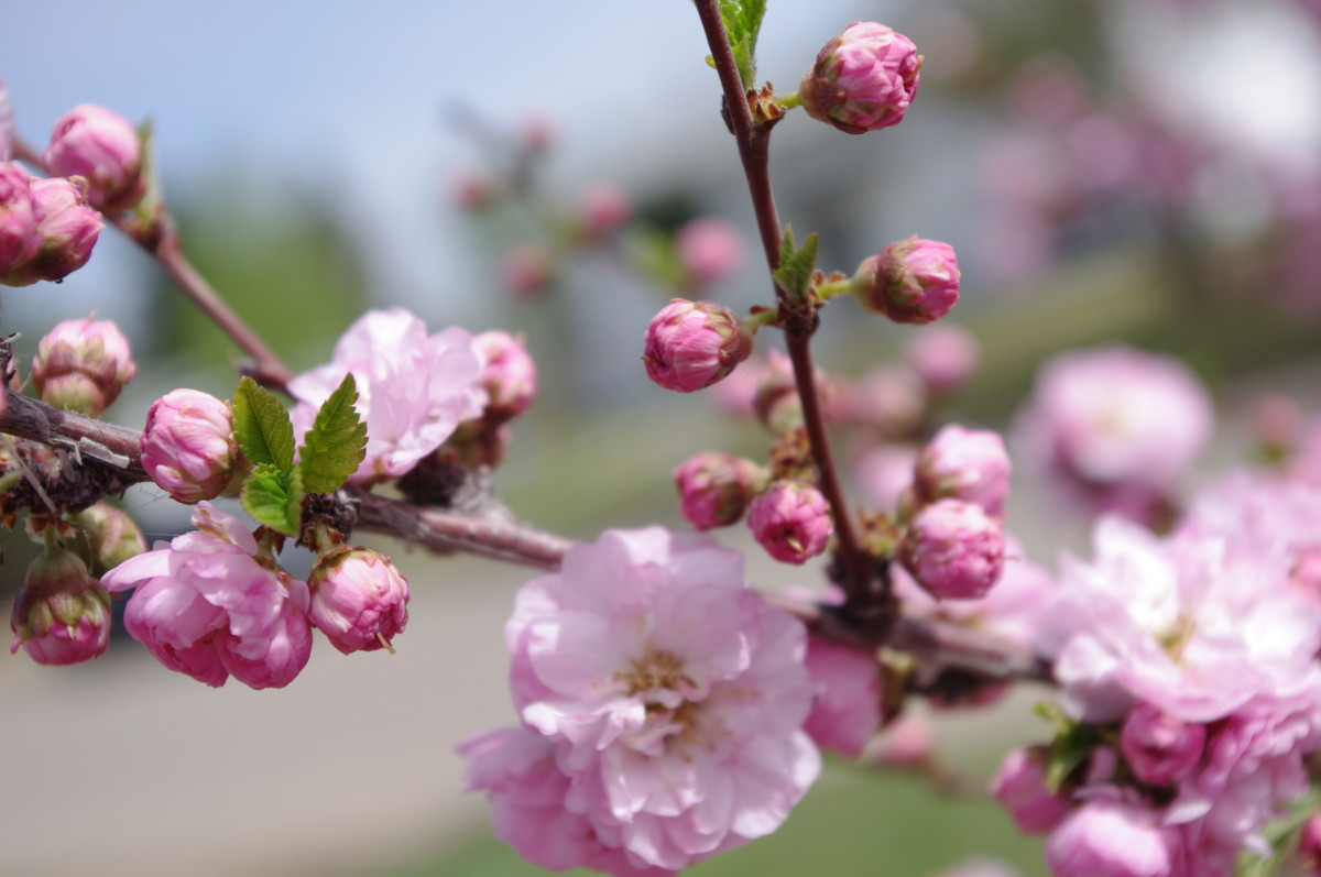 Spring-flowering plum: Northern Alberta, close-up - photo by author