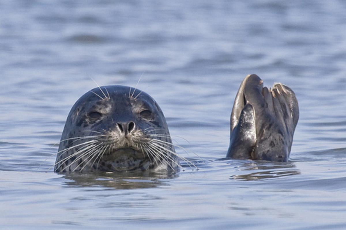 Harbor seal  at the nearby California coast.