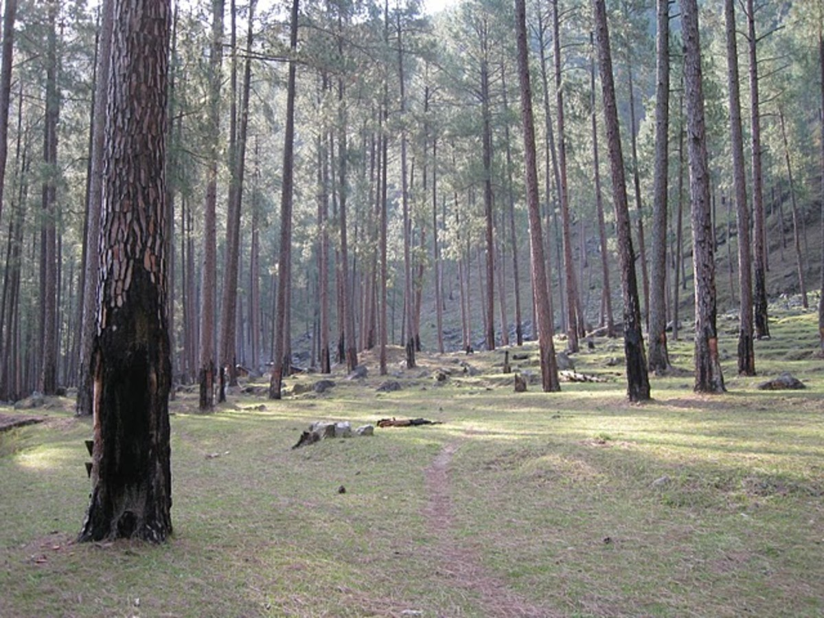Tallest Pine trees in Mori Forest