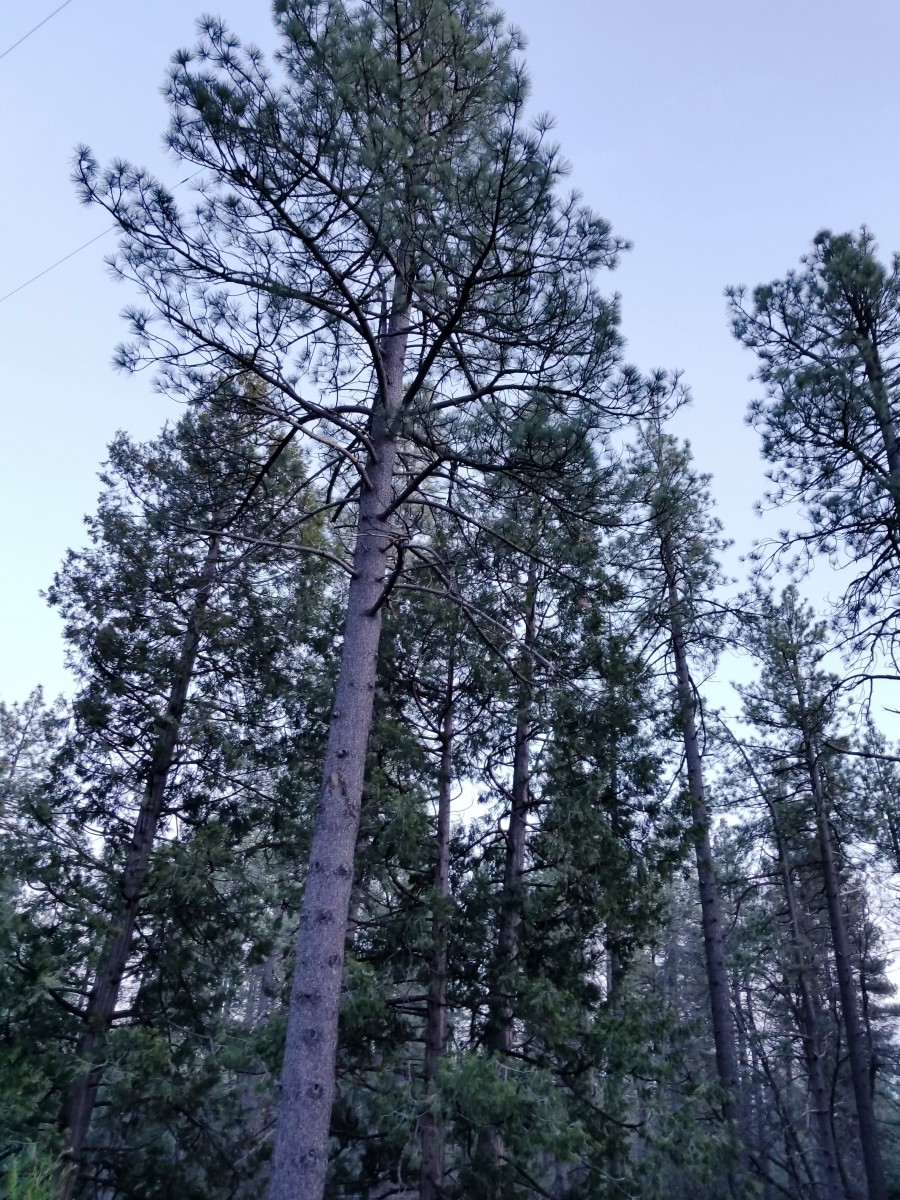 Tall, pine trees line the sky above Idyllwild, California