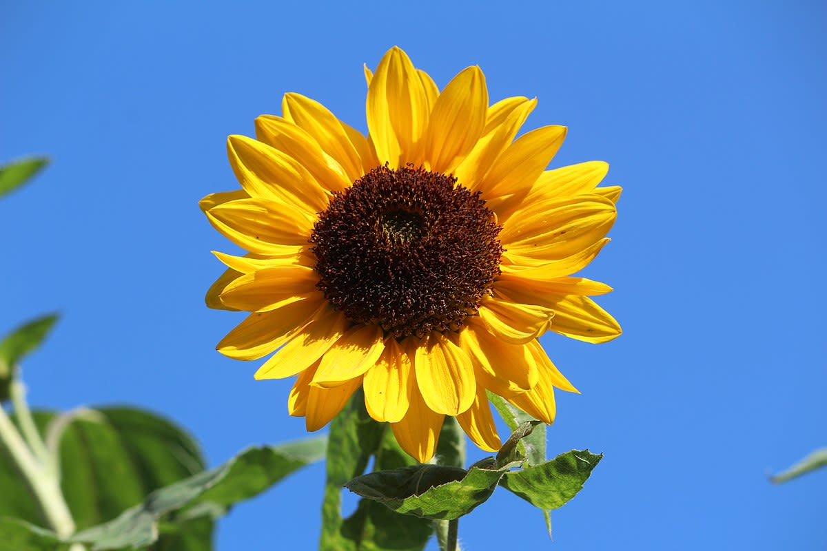 With their large heads, sunflowers remind me of sunshine and blue skies.
