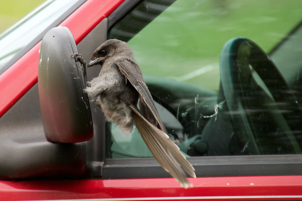 A young Gray Jay attacks its own image in a car's wing mirror.