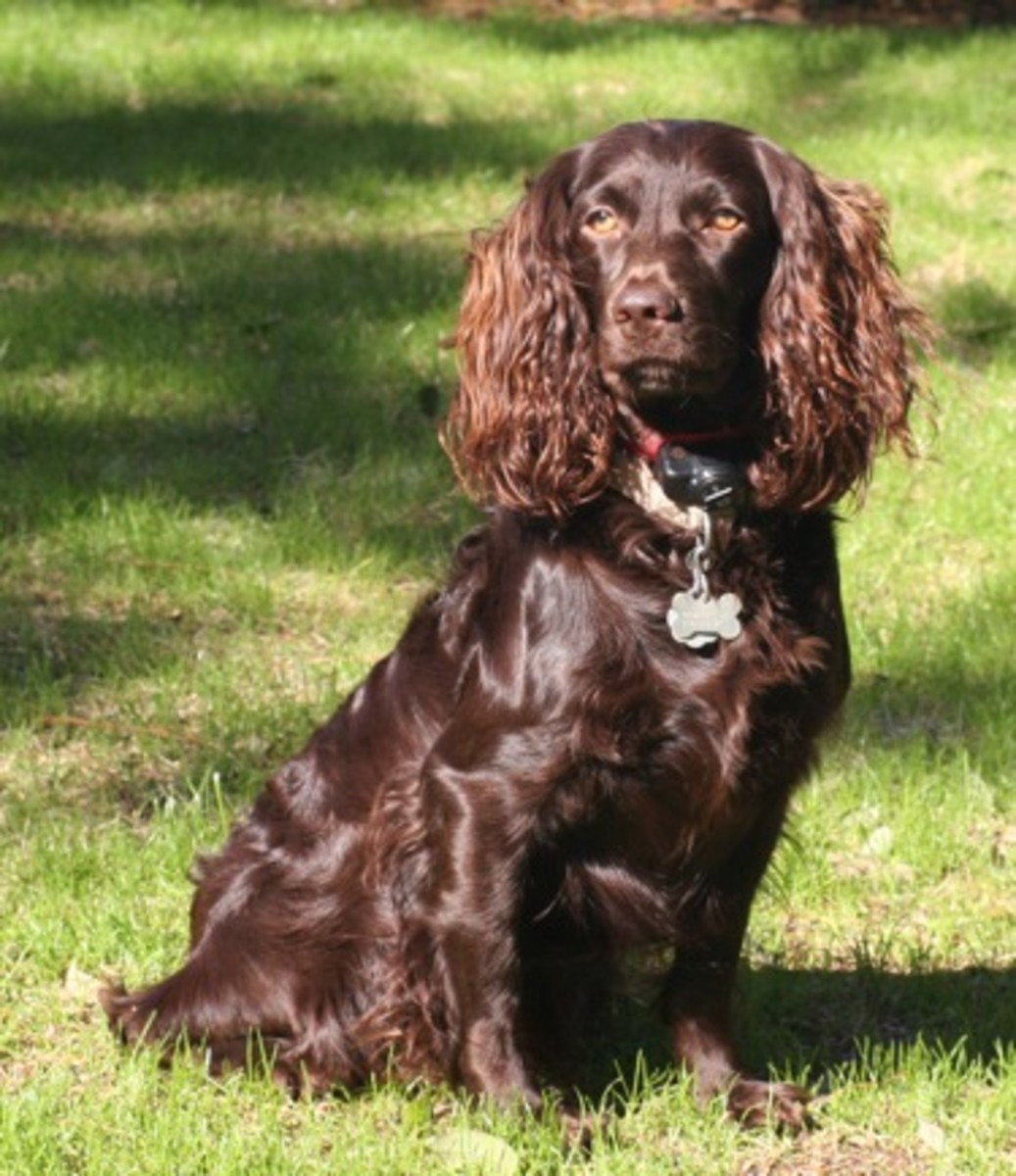 Are Boykin Spaniels Good Family Dogs