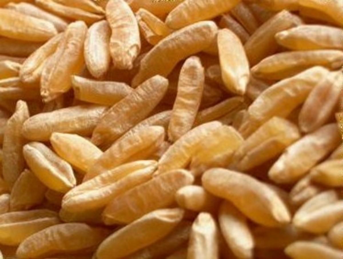 Kamut grain grows into impressive sized kernals.