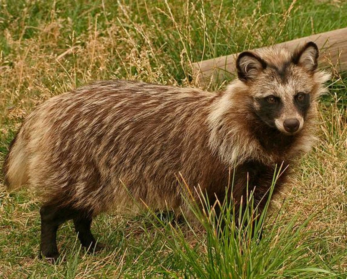 Aaaaaaaiiiiggghhhh! The radiation has created a raccoon dog! Okay, okay... Calm down. I just thought it was time for a little comedic breather from the doom and gloom. The raccoon dog is a real animal that lives in Japan. No mutation required.