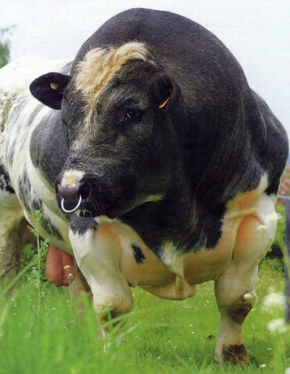 Bison Beefalo Or Belgian Blue Angus Cattle Genetics