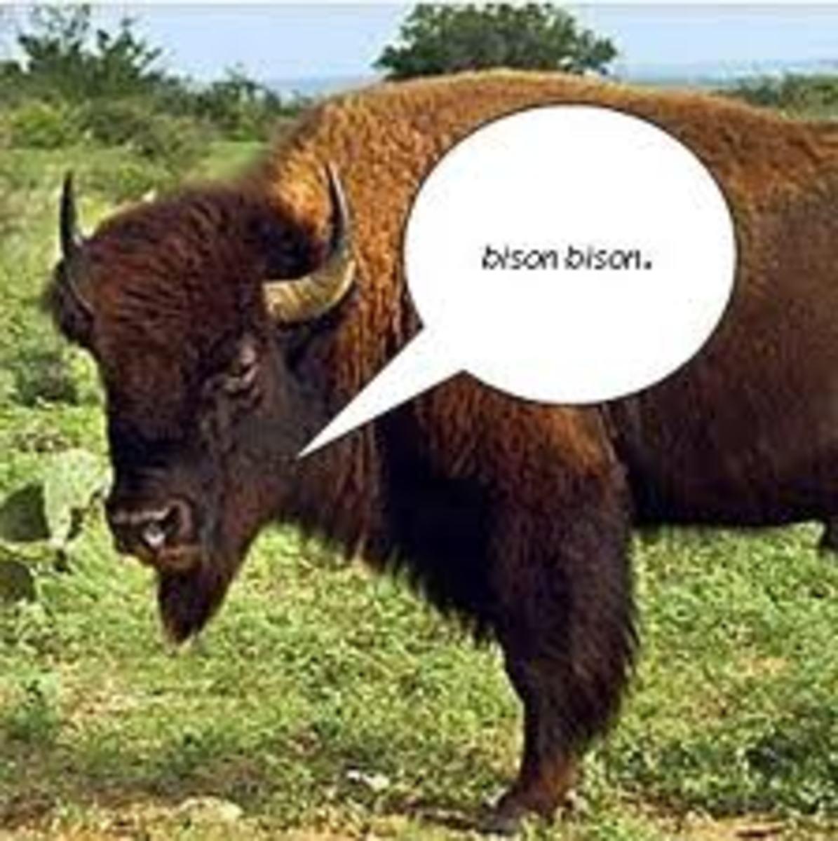 bison-beefalo-or-belgian-blue-angus-cattle-genetics-industry-evolves