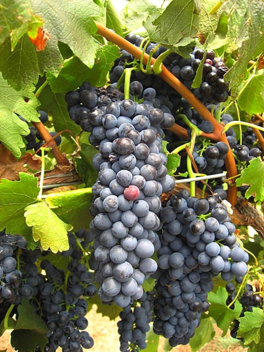 Shiraz grapes from the Hunter valley