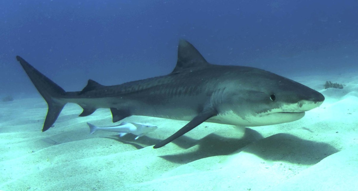 A tiger shark (like the one that attacked Bethany Hamilton) in Bahamian waters.