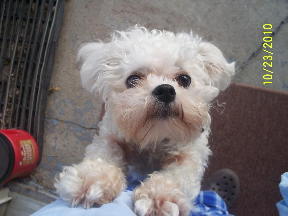 helpful-tips-for-training-a-stubborn-lhasa-bishon-mix-la-chon-puppy
