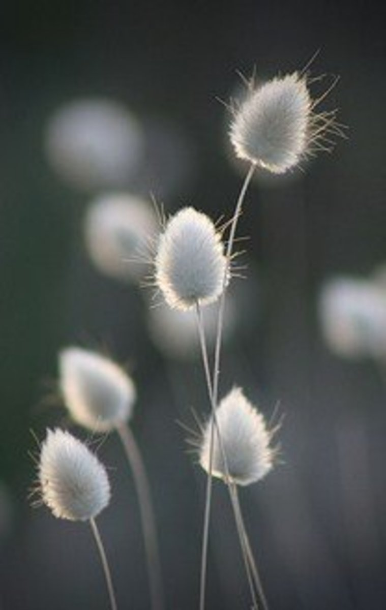 Soft and fluffy, bunny tails ornamental grass is a fun plant both children and adults will love.