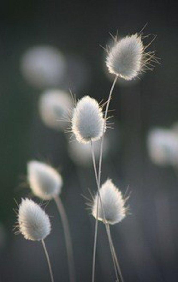 Bunny Tails Ornamental Grass