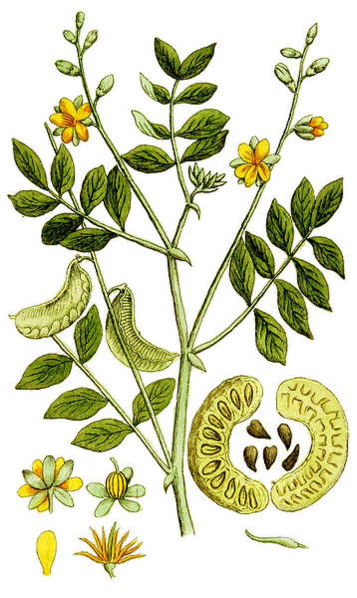 The Benefits and Side Effects of Senna Leaf Tea