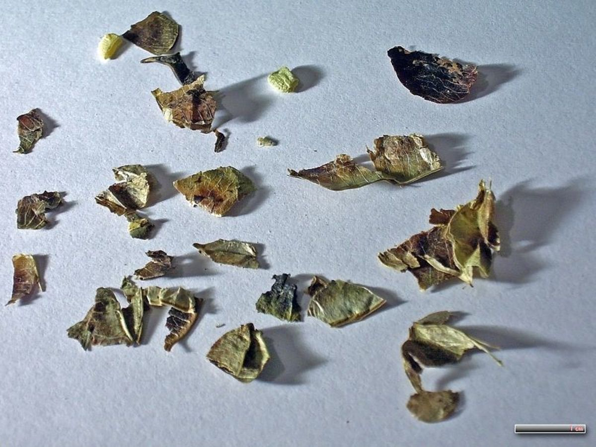 Dried senna alexandrina commonly prescribed for constipation.
