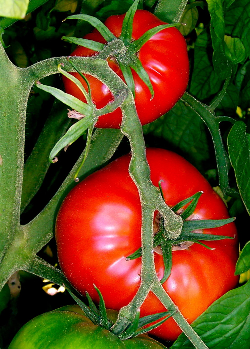 How to Grow Tomato Plants From Seed: All You Need to Know