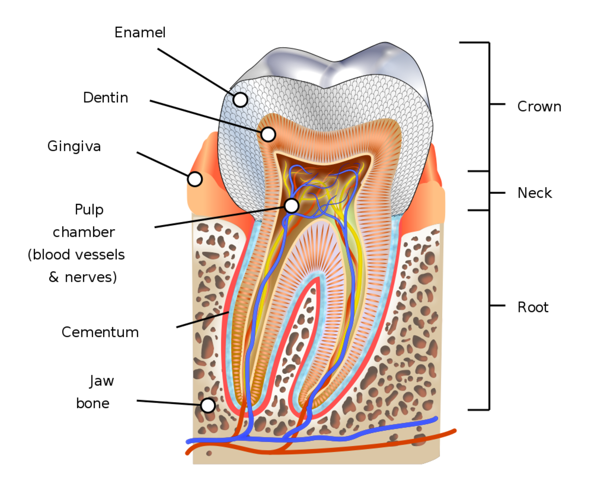 Cementum deposits on the root of a tooth