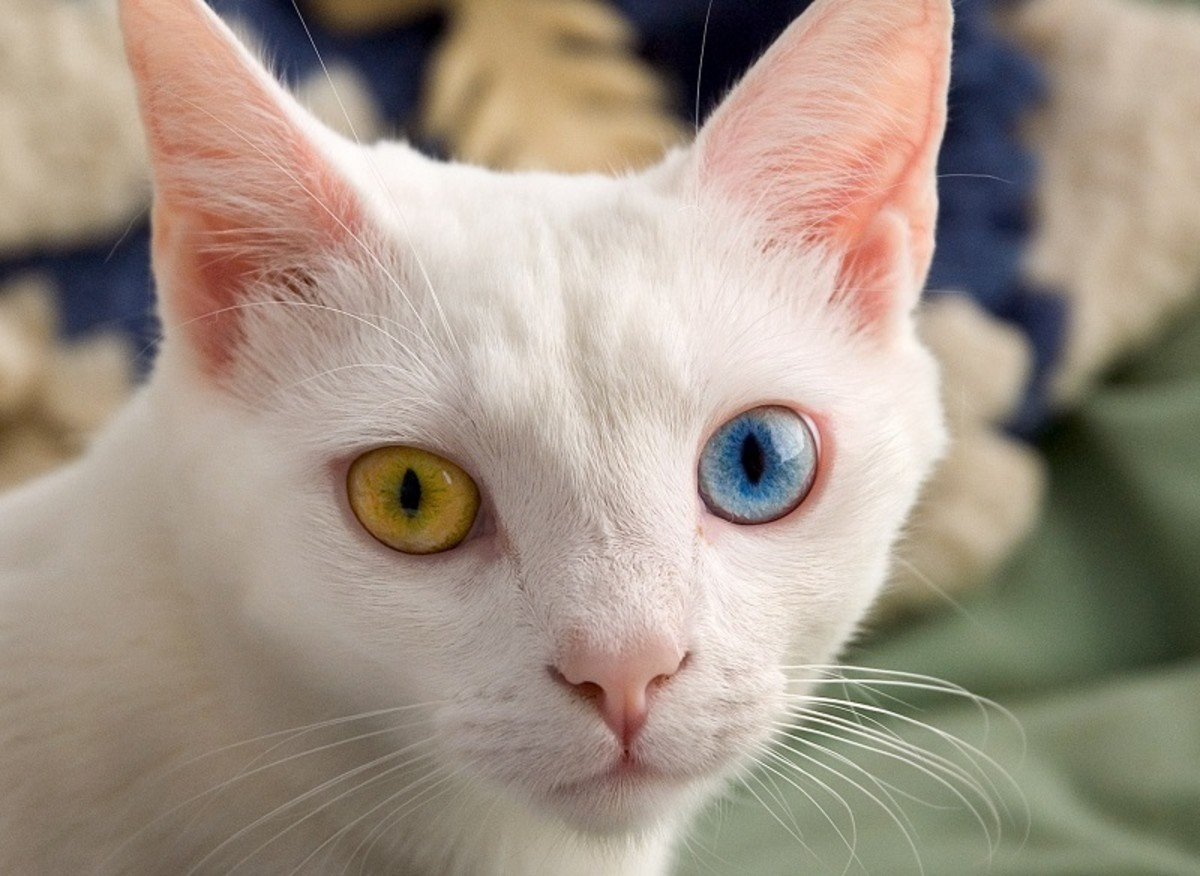 The unblinking stare of an odd-eyed cat is mesmerizing.