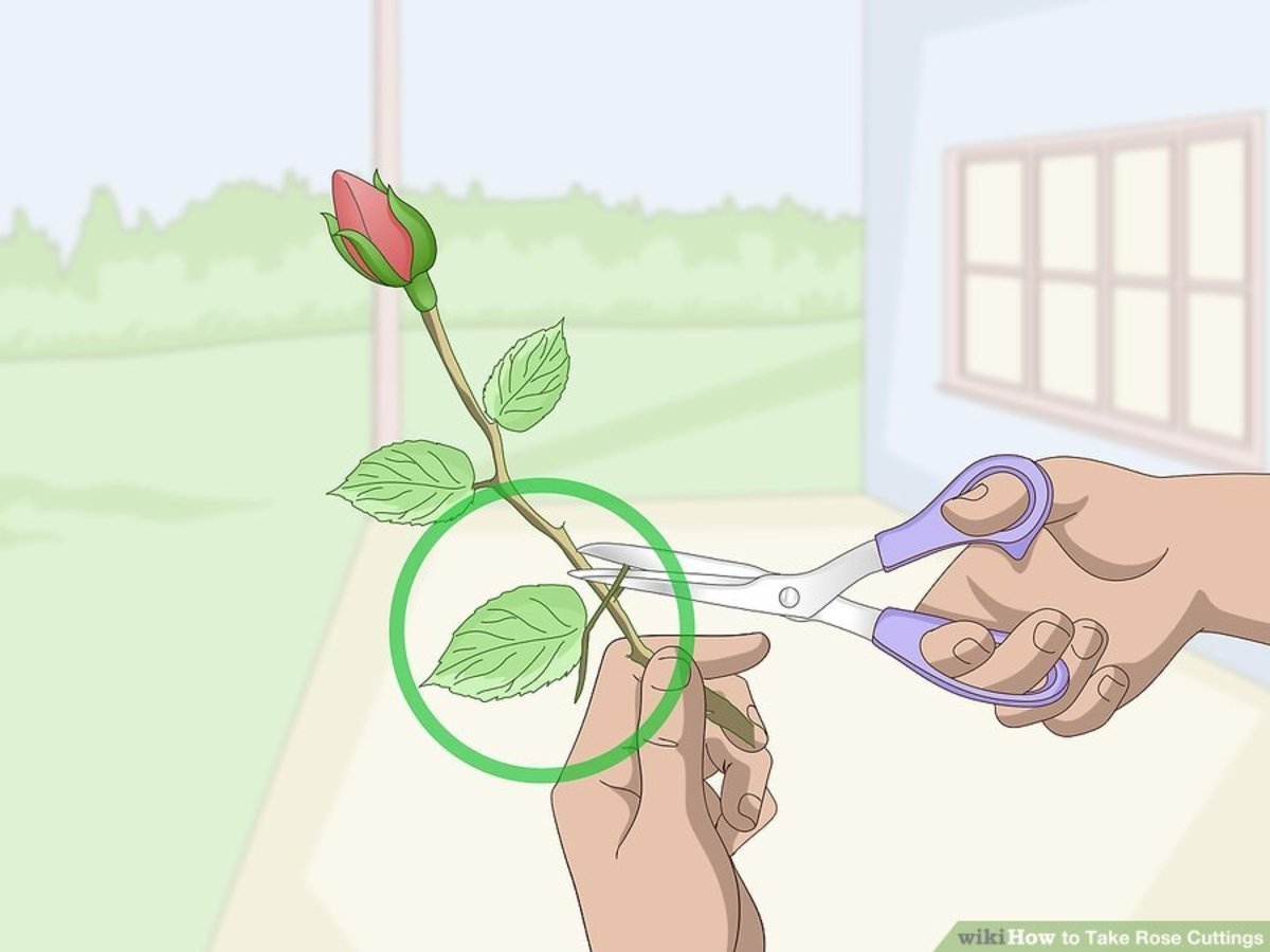Remove all of the leaves except the ones at the top of the cutting.