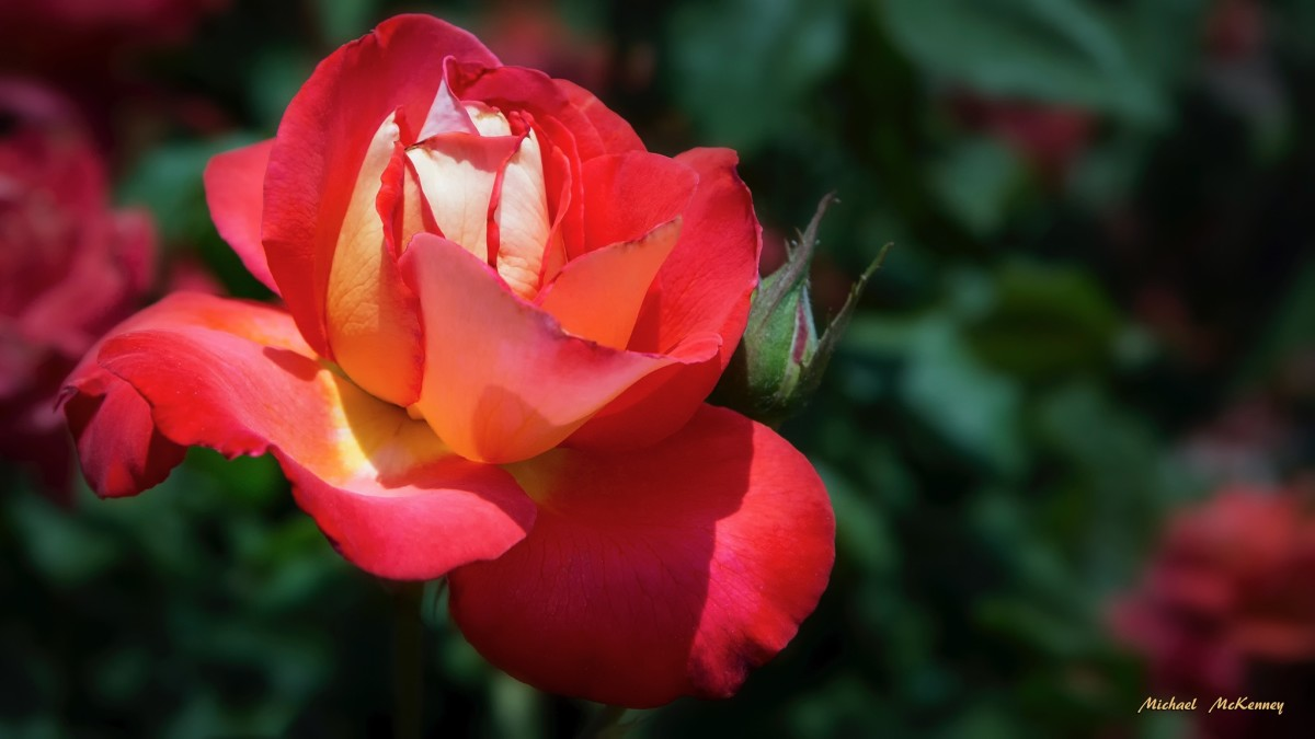 How to Successfully Propagate Roses From Cuttings