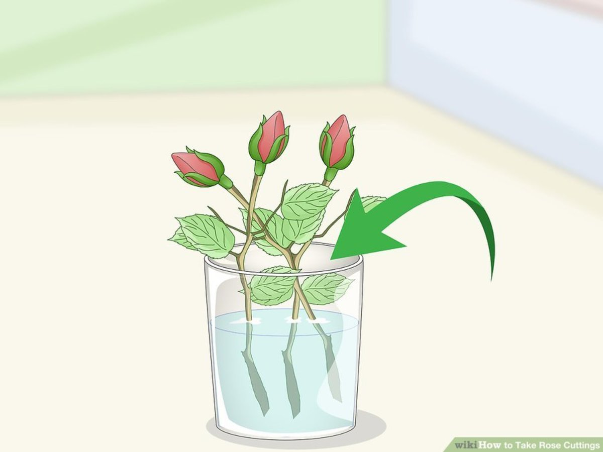 Put the rose cuttings directly into water.