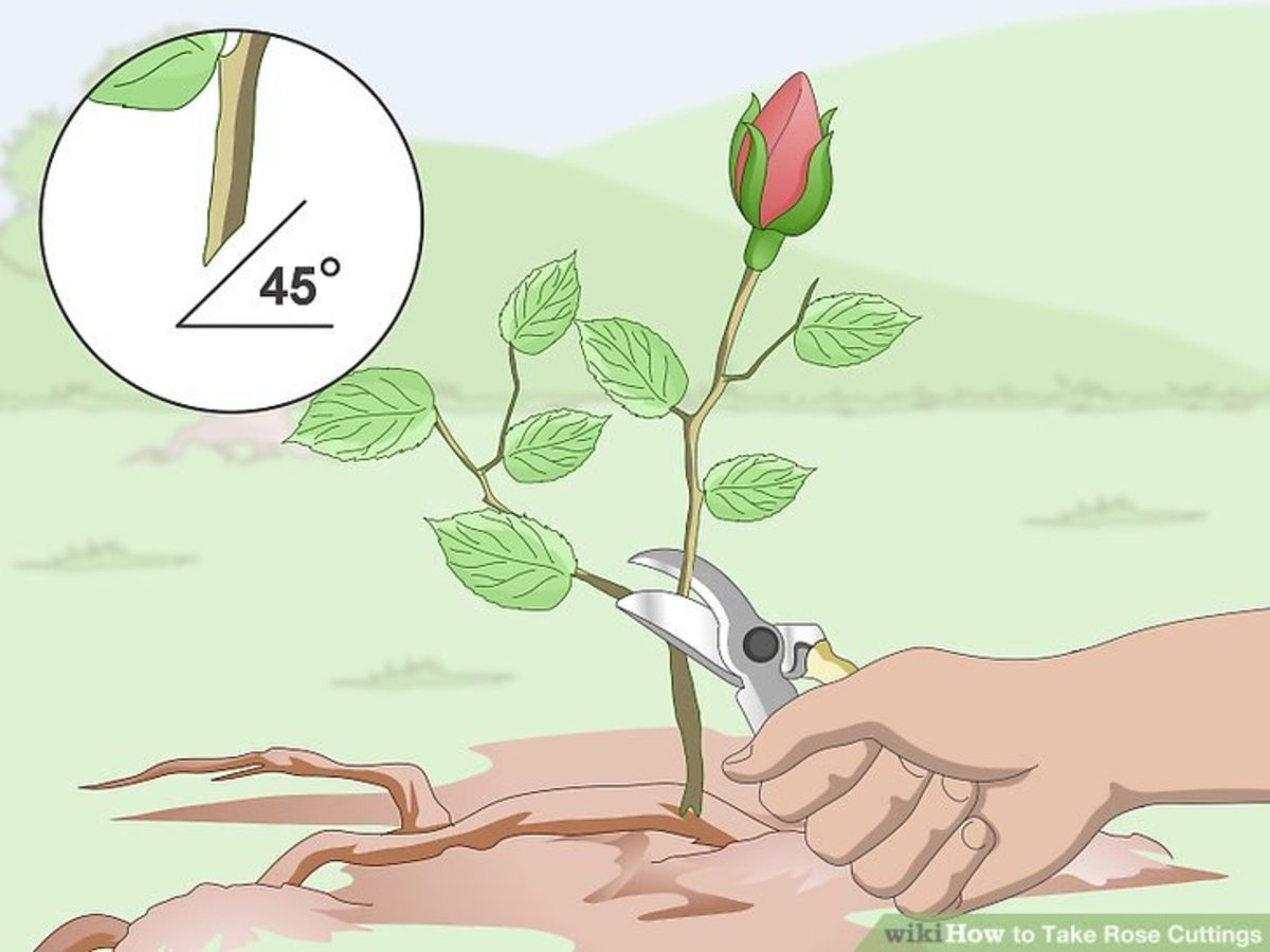 Cut the rose stem above the first set of leaves at a 45 degree angle.