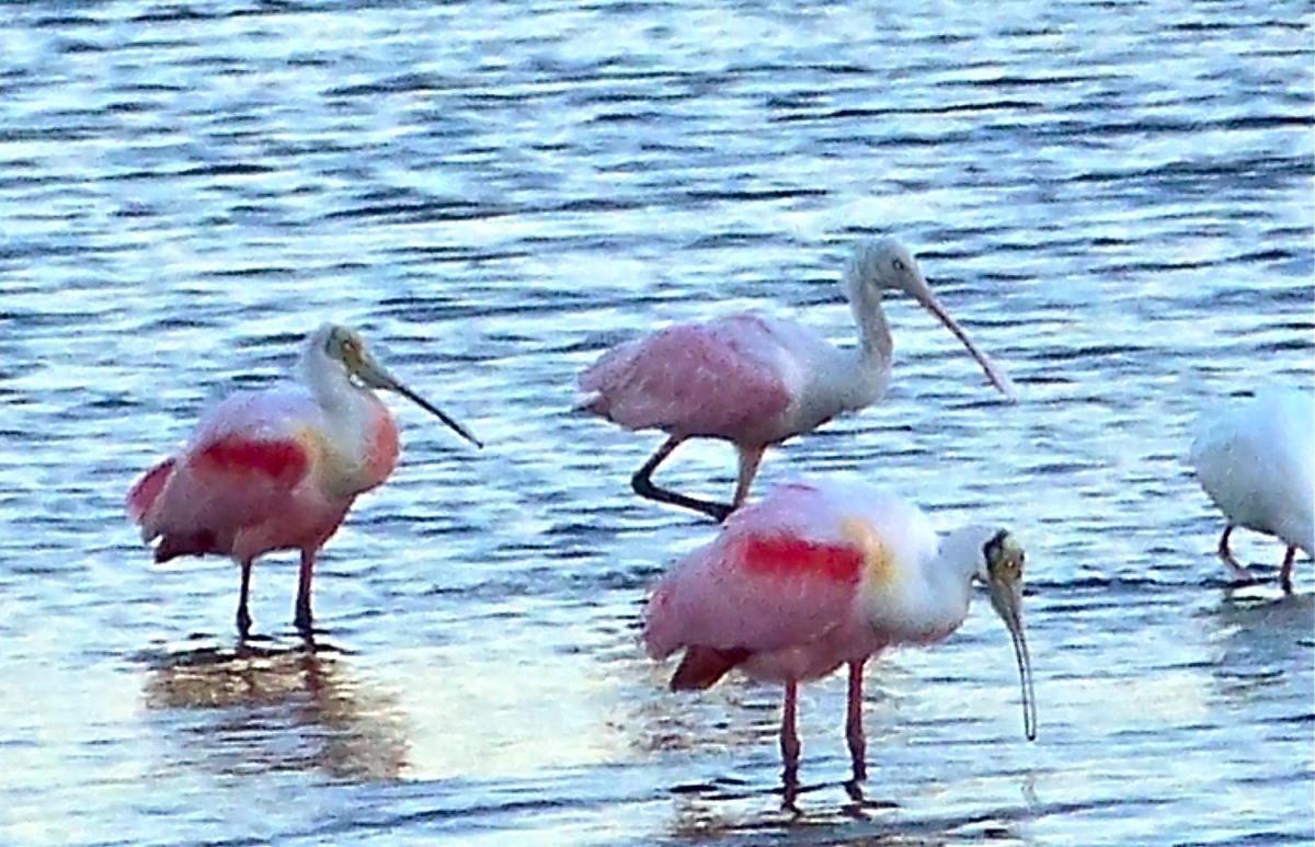 Rosette Spoonbills at Merritt Island National Wildlife Refuge. Florida.