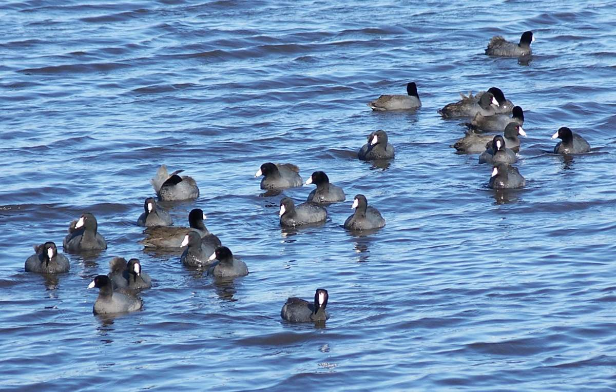 American coots.