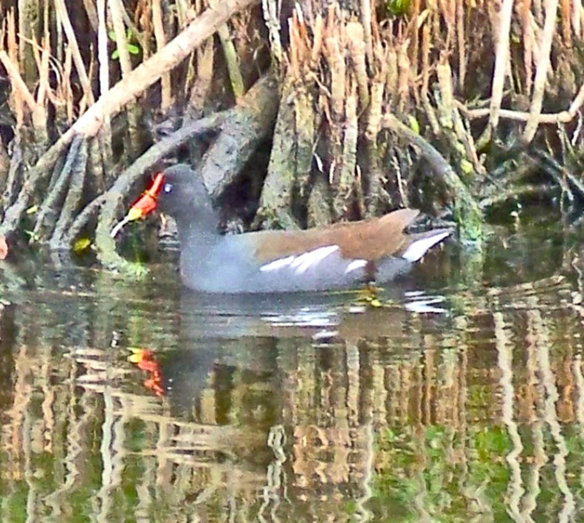 The Purple Gallinule can walk on floating plants.