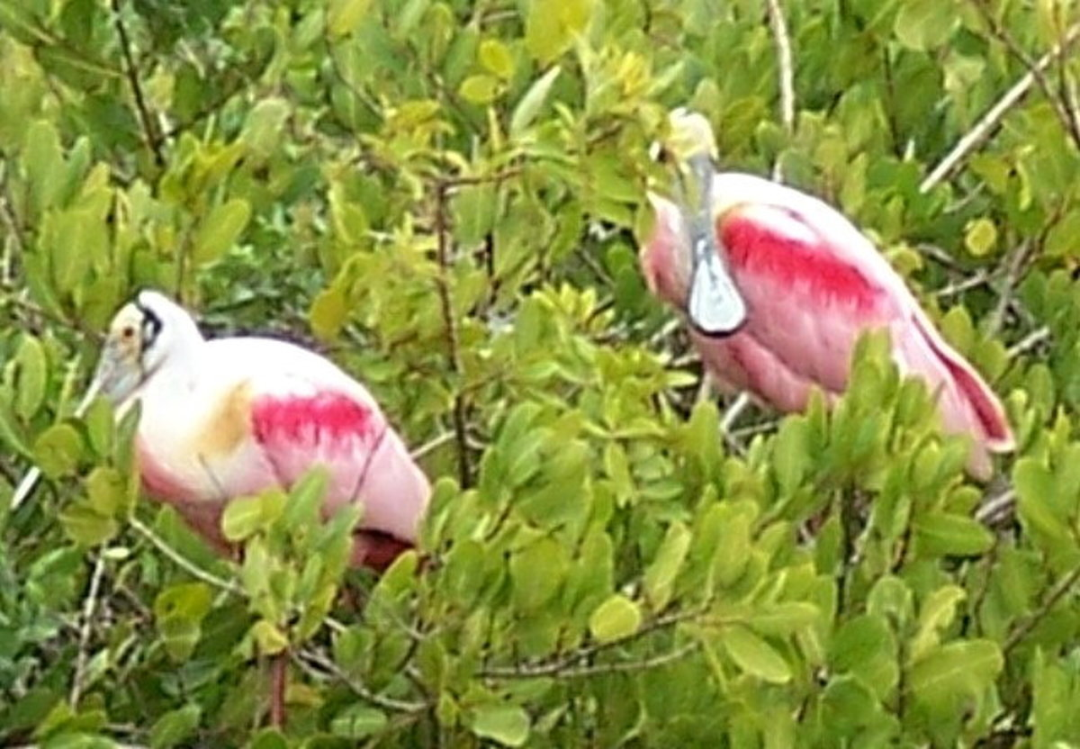 Roseate Spoonbills in trees