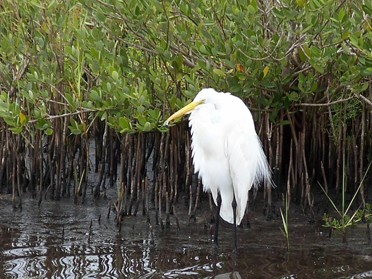 Egret on Merritt Island