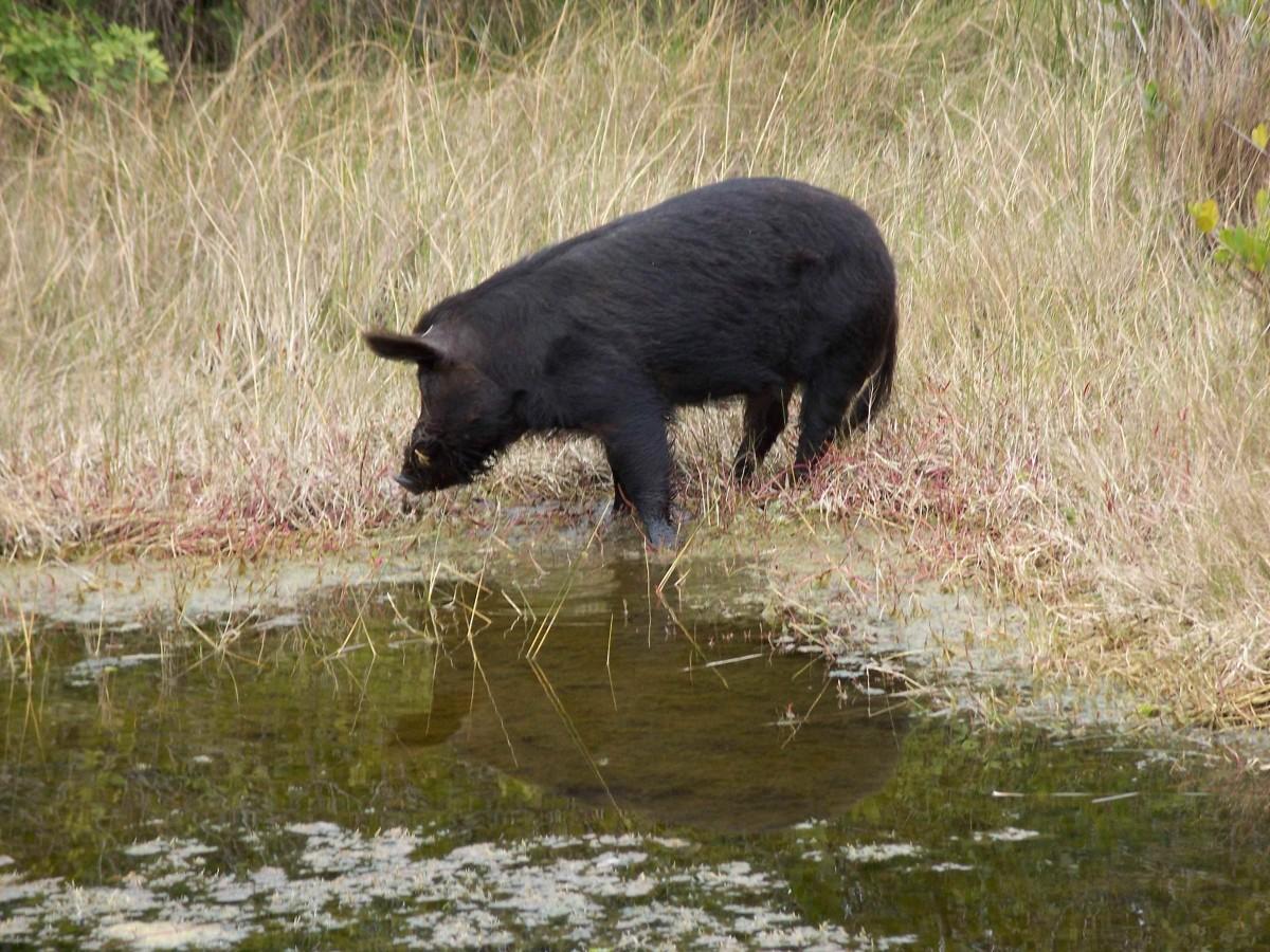 Razorback Feral Hog at Merritt Island