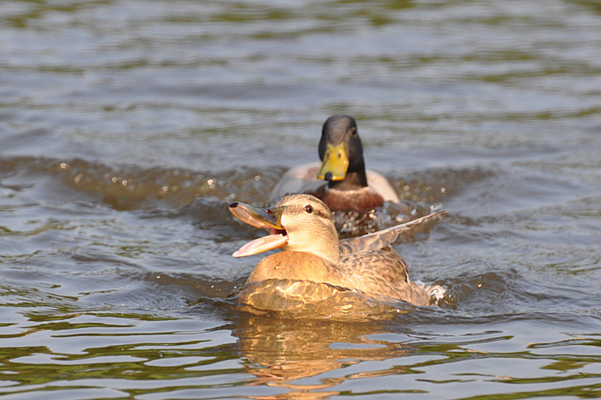 Female mallard duck being pestered by a male