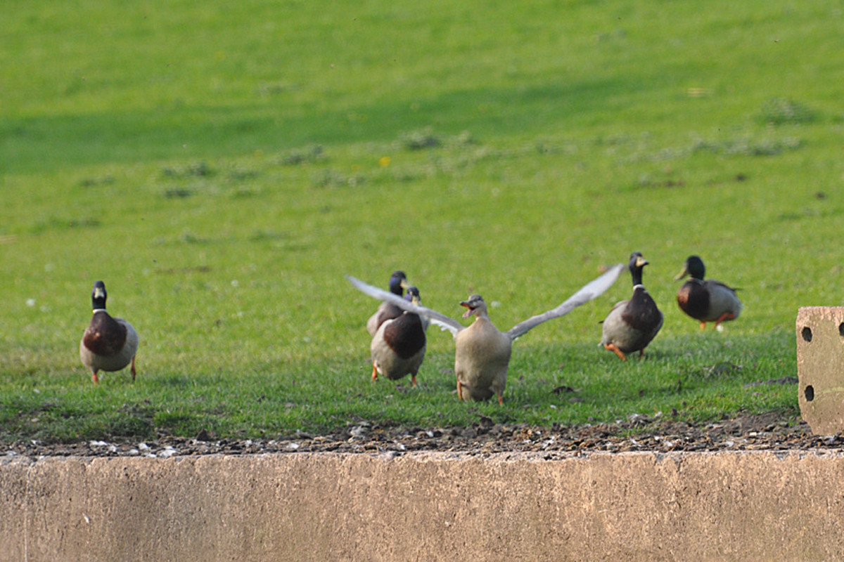 birds-behaving-badly-male-mallard-ducks