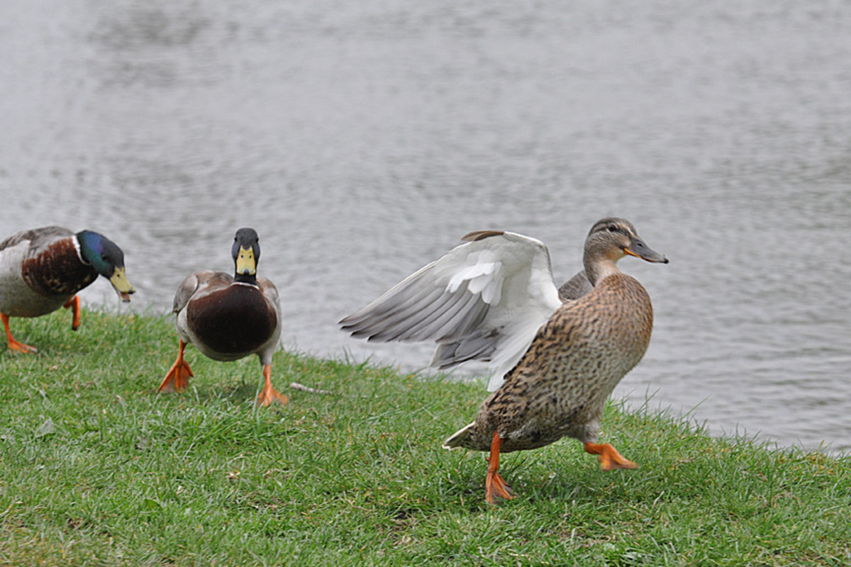The chase is on.  Female mallard duck being chased by two males