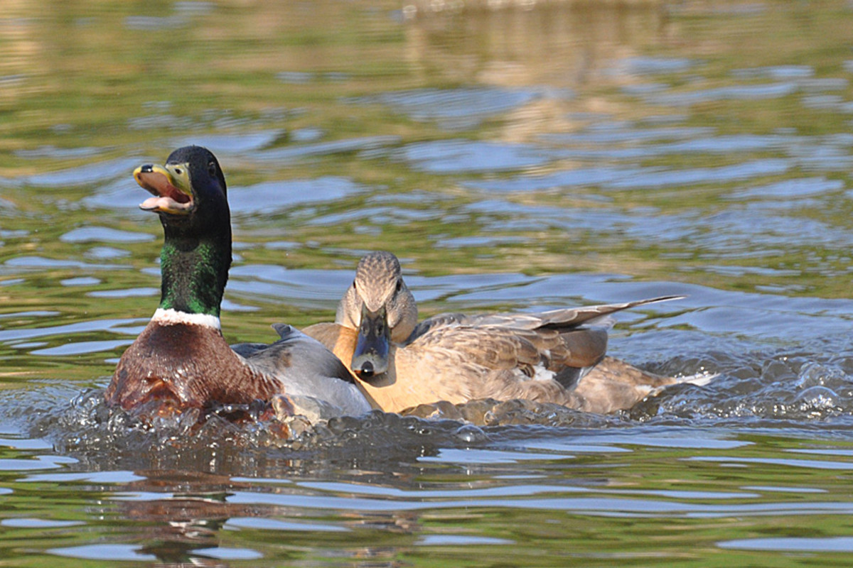 Female mallard duck trying to stick close to the last male she mated with.