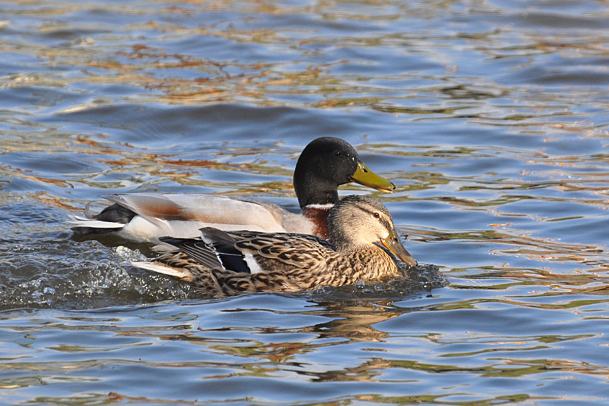 One day the female mallard is with the brown duck
