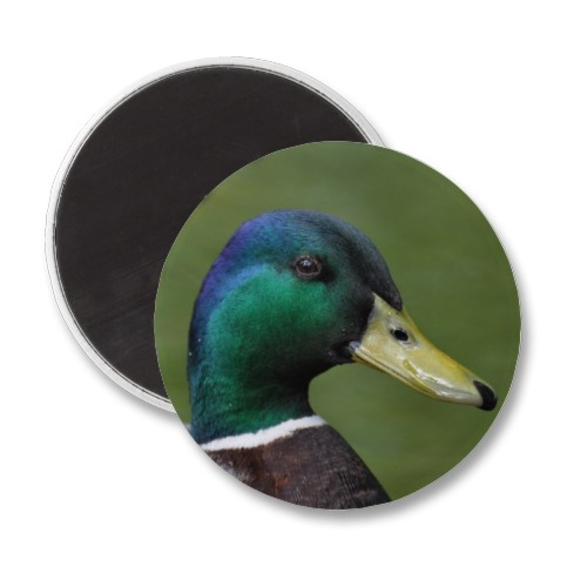 Male mallard magnet.  More cards and gifts available on Zazzle.com - follow the link to browse.