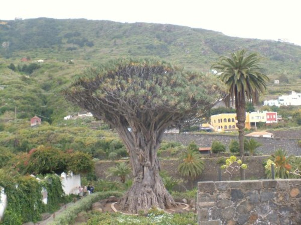Icod de los Vinos's famous Drago Milenario 1,000-year-old Dragon Tree