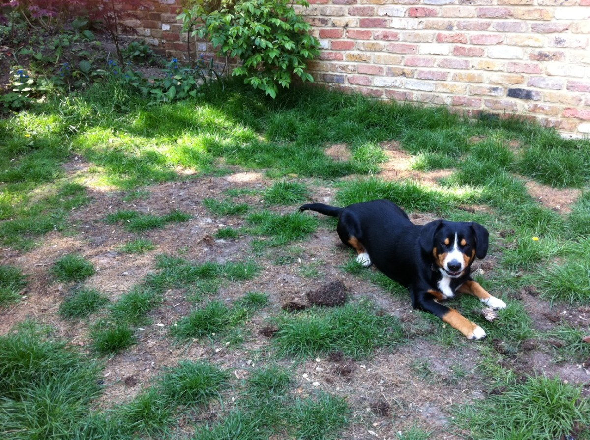 How To Get Rid Of Dog Urine Spots On Lawn