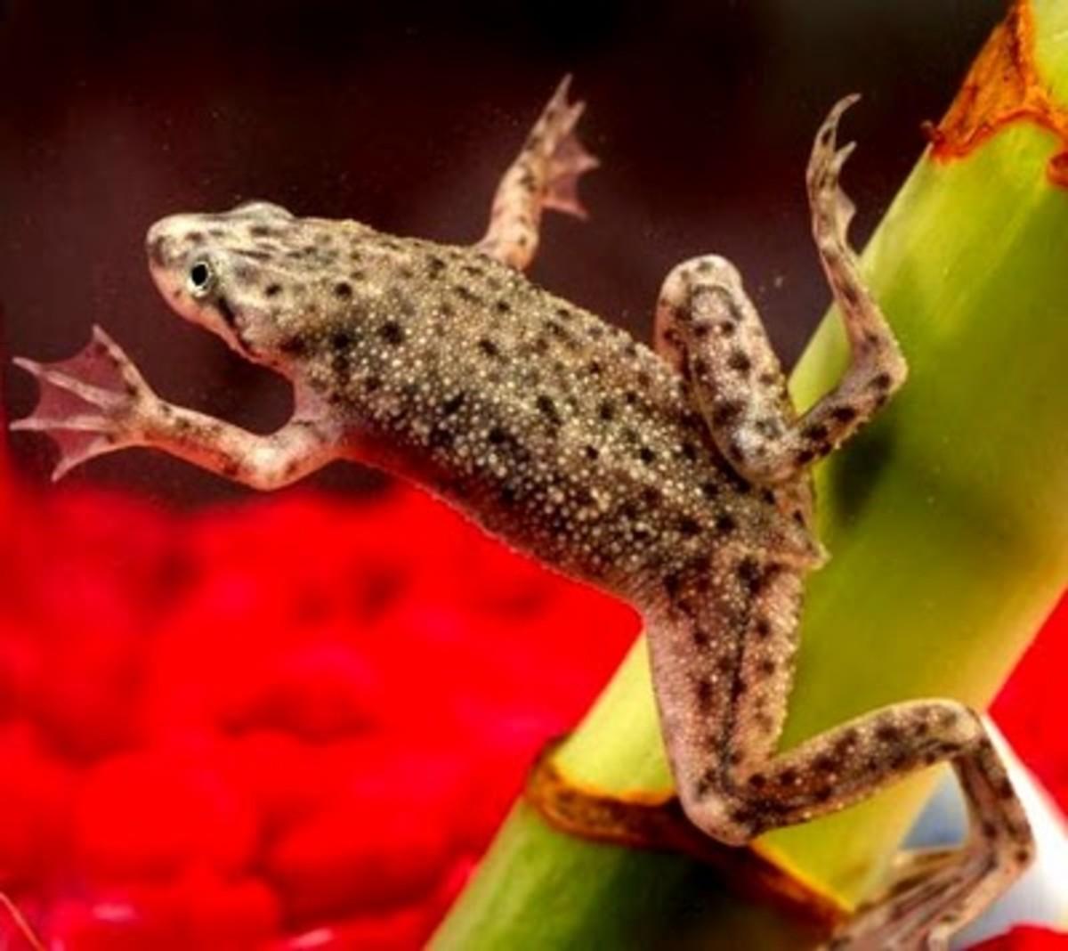african dwarf frog information african dwarf frogs hymenochirus hence ...