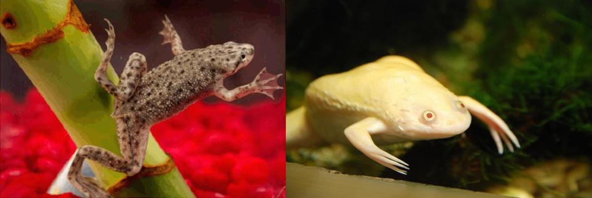 african-dwarf-frog-housing-and-feeding-care-guide