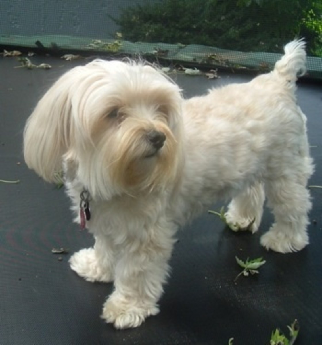 Yorktese, Malkie, Or Morkie... An Adorable Combination Of